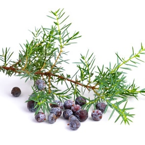 JUNIPER BERRY and JUNIPER NEEDLE </br> essential oil  or floral water